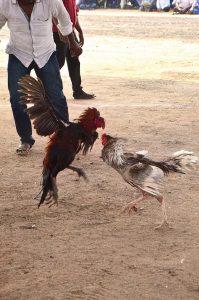 Online cockfighting